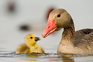 Graylag gosling (Anser anser) with parent, Lake Csaj, Kiskunsagi National Park, Pusztaszer, Hungary. April.  -  Bence  Mate