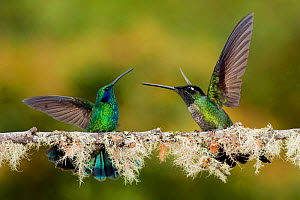 Green-crowned brilliant hummingbirds (Heliodoxa jacula) fighting, Savegre, Costa Rica  -  Bence  Mate