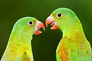Orange chinned parakeets (Brotogeris jugularis) two looking at each other, Santa Rita, Costa Rica. - Bence  Mate