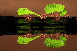 Leaf cutter ants (Atta sp) carrying pieces of fern, reflected in water, Costa Rica.  -  Bence  Mate
