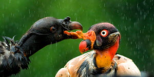 Black vulture (Coragyps atratus) squabbling with King vulture (Sarcoramphus papa) Costa Rica.  -  Bence  Mate