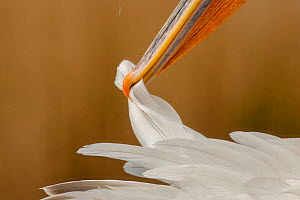 Close up of Dalmatian pelican (Pelecanus crispus) preening, Danube Delta, Romania - Bence  Mate