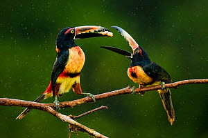 Collared aracari (Pteroglossus torquatus) two perched, possibly courtship feeding, Costa Rica.  -  Bence  Mate