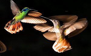 Green-crowned brilliant (Heliodoxa jacula) hummingbirds fighting, Savegre, Costa Rica  -  Bence  Mate
