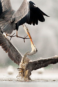 Grey herons  (Ardea cinerea) fighting, Lake Csaj, Kiskunsagi National Park, Pusztaszer, Hungary. January.  -  Bence  Mate