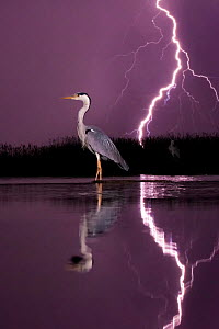 Grey heron (Ardea cinerea) with lightning storm at night. Lake Csaj, Kiskunsagi National Park, Pusztaszer, Hungary. May 2012.  -  Bence  Mate