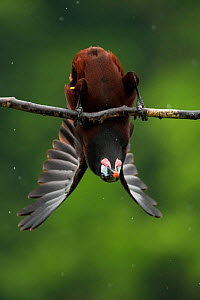 Montezuma oropendola (Psarocolius montezuma) hanging upside down as part of a courtship display. Costa Rica. - Bence  Mate