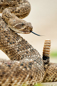 Western diamond-backed rattlesnake (Crotalus atrox) Texas, USA, April. - Bence  Mate