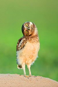 Burrowing owl  (Athene cunicularia) fledgling with head on side, Pantanal, Brazil. November.  -  Bence  Mate