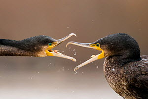 Cormorants (Phalacrocorax carbo) fighting, Lake Csaj, Kiskunsagi National Park, Pusztaszer, Hungary.  -  Bence  Mate