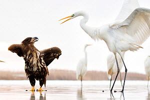 White tailed sea eagle (Haliaeetus albicilla) interacting with Great egret (Ardea alba)  Lake Csaj, Kiskunsagi National Park, Hungary. January.  -  Bence  Mate