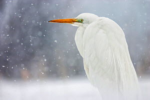 Great egret (Ardea alba) in snow, Lake Csaj, Kiskunsagi National Park, Pusztaszer, Hungary. March.  -  Bence  Mate