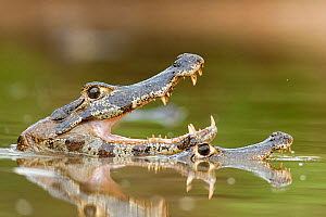 Jacare / Yacare caiman (Caiman crocodilus yacare) two caymans, one with mouth open, Pantanal, Brazil. - Bence  Mate