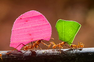 Leaf cutter ant (Atta sp) carrying colourful pieces of plant material, Santa Rita, Costa Rica.  -  Bence  Mate