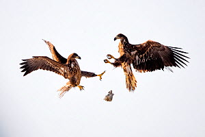 Juvenile White tailed sea eagles (Haliaeetus albicilla) fighting for fish in mid air,  Lake Csaj, Kiskunsagi National Park, Hungary. February.  -  Bence  Mate