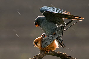 Red footed falcon (Falco vespertinus) pair mating, Lake Csaj, Kiskunsagi National Park, Pusztaszer, Hungary. February. - Bence  Mate