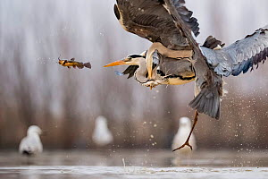 Grey herons (Ardea cinerea) squabbling for fish in flight, Lake Csaj, Kiskunsagi National Park, Pusztaszer, Hungary. January.  -  Bence  Mate