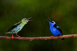 Red-legged honeycreeper (Cyanerpes cyaneus) male and juvenile male perched in rain, Costa Rica.  -  Bence  Mate