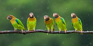 Group of five Brown-hooded parrots (Pyrilia haematotis) in rain, Costa Rica.  -  Bence  Mate