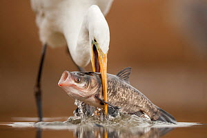 Great egret (Ardea alba) with fish prey, Kiskunsagi National Park, Pusztaszer, Hungary. January.  -  Bence  Mate