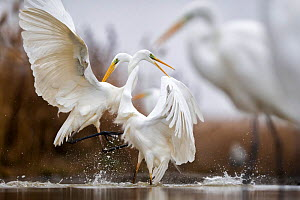 Great egrets (Ardea alba) fighting with necks intertwined,  Lake Csaj, Kiskunsagi National Park, Hungary. January.  -  Bence  Mate