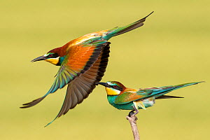 European bee eaters (Merops apiaster) one taking off another perched, Kiskunsagi National Park, Pusztaszer, Hungary. May.  -  Bence  Mate
