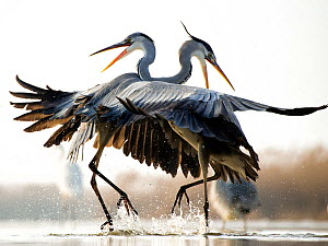Grey herons (Ardea cinerea) two fighting, Lake Csaj, Kiskunsagi National Park, Pusztaszer, Hungary.  -  Bence  Mate