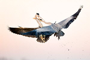 Grey herons (Ardea cinerea) fighting in flight, Lake Csaj, Kiskunsagi National Park, Pusztaszer, Hungary.  -  Bence  Mate
