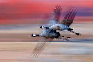 Blurred image of two Common cranes (Grus grus) in flight, Sweden.  -  Bence  Mate
