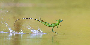 Green / Double-crested basilisk (Basiliscus plumifrons) running across water surface, Santa Rita, Costa Rica. - Bence  Mate
