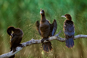 Three Pygmy cormorants (Microcarbo pygmeus) drying themselves, one by shaking off water, Hortobagy National Park, Hungary  -  Bence  Mate