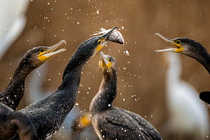Cormorants (Phalacrocorax carbo) squabbling over fish, Pusztaszer, Kiskunsagi National Park, Hungary, November.  -  Bence  Mate