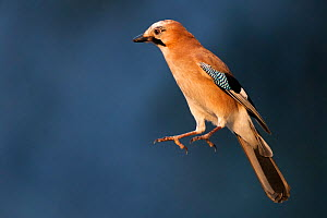 Jay (Garrulus glandarius) jumping into the air,  Pusztaszer, Kiskunsagi National Park, Hungary, November.  -  Bence  Mate