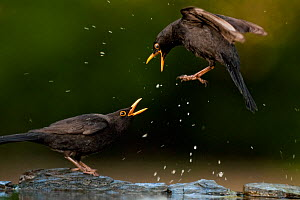 Blackbird (Turdus merula) fighting, splashing water, Pusztaszer, Kiskunsagi National Park, Hungary, April.  -  Bence  Mate