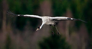 Eurasian crane (Grus grus) in flight, Sweden, April - Bence  Mate