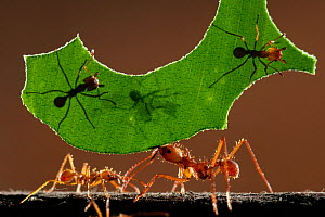 Leaf cutter ants (Atta sp) carrying piece of  leaf, Costa Rica. - Bence  Mate