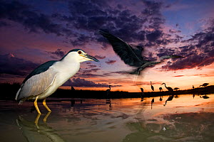 Black crowned night heron (Nycticorax nycticorax) at twilight with other herons in the background, including Grey heron (Ardea cinerea) in flight,  Lake Csaj, Kiskunsagi National Park, Pusztaszer, Hun...  -  Bence  Mate
