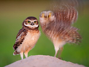 Two Burrowing owls (Athene cunicularia) fledgling with adult about to take off, Pantanal, Brazil. - Bence  Mate
