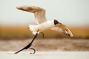 Black headed gull (Chroicocephalus ridibundus) taking off with foot caught in discarded coat hanger, Lake Csaj, Kiskunsagi National Park, Pusztaszer, Hungary. May.  -  Bence  Mate