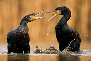 Two Cormorants (Phalacrocorax carbo) squabbling, Lake Csaj, Kiskunsagi National Park, Pusztaszer, Hungary.  -  Bence  Mate