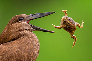 Hamerkop (Scopus umbretta) tossing frog prey, Mkuze, South Africa  -  Bence  Mate