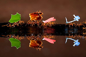 Leaf cutter ants (Atta sp) carrying colourful plant matter, reflected in water, Costa Rica. - Bence  Mate