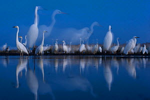 Flock of Great egrets (Ardea alba) at twilight, Lake Csaj, Kiskunsagi National Park, Hungary. May.  -  Bence  Mate