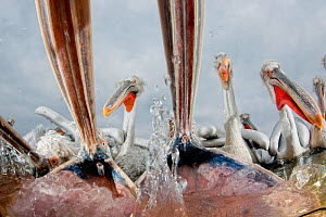 Dalmatian pelicans (Pelecanus crispus) low angle perspective of open bills whilst feeding, Lake Kerkini, Greece, February. Highly commended in World of Birds category in the Cadiz Photo Nature Competi...  -  Bence  Mate