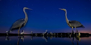 Grey heron (Ardea cinerea) face to face in lake, at night with stars, Lake Csaj, Kiskunsagi National Park, Pusztaszer, Hungary. July. - Bence  Mate