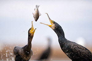 Cormorants (Phalacrocorax carbo) squabbling over fish, Lake Csaj, Kiskunsagi National Park, Pusztaszer, Hungary. January. - Bence  Mate