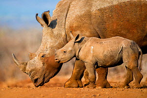 White rhinoceros (Ceratotherium simum) calf and mother, Mkuze, South Africa  -  Bence  Mate