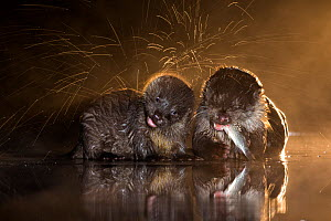Two European otters (Lutra lutra) one shaking off water and the other feeding on fish, Lake Csaj, Kiskunsagi National Park, Pusztaszer, Hungary. October. - Bence  Mate