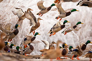 Flock of Mallard ducks (Anas platyrhynchos) taking off, Lake Csaj, Kiskunsagi National Park, Pusztaszer, Hungary. December. - Bence  Mate