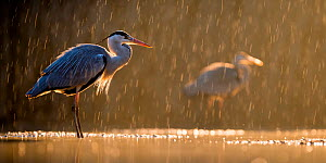 Grey heron (Ardea cinerea) in rain with another heron behind, Lake Csaj, Kiskunsagi National Park, Pusztaszer, Hungary. January. - Bence  Mate